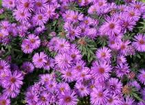 Purple Dome Asters